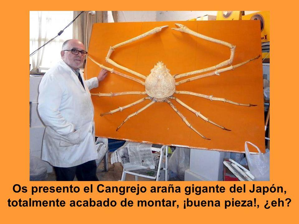 Os presento el Cangrejo araña gigante del Japón,