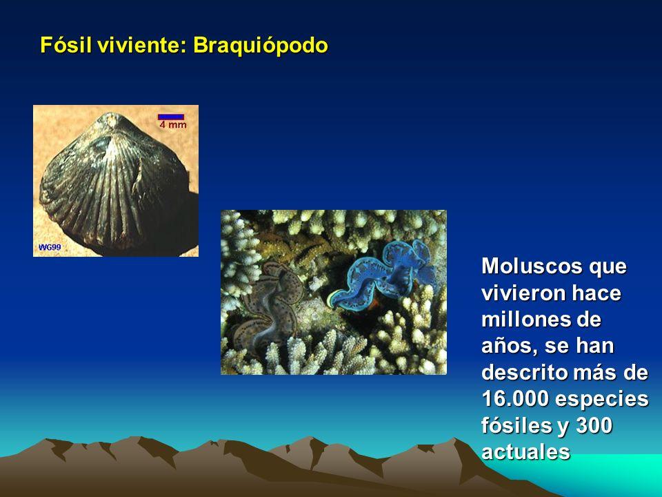 Fósil viviente: Braquiópodo