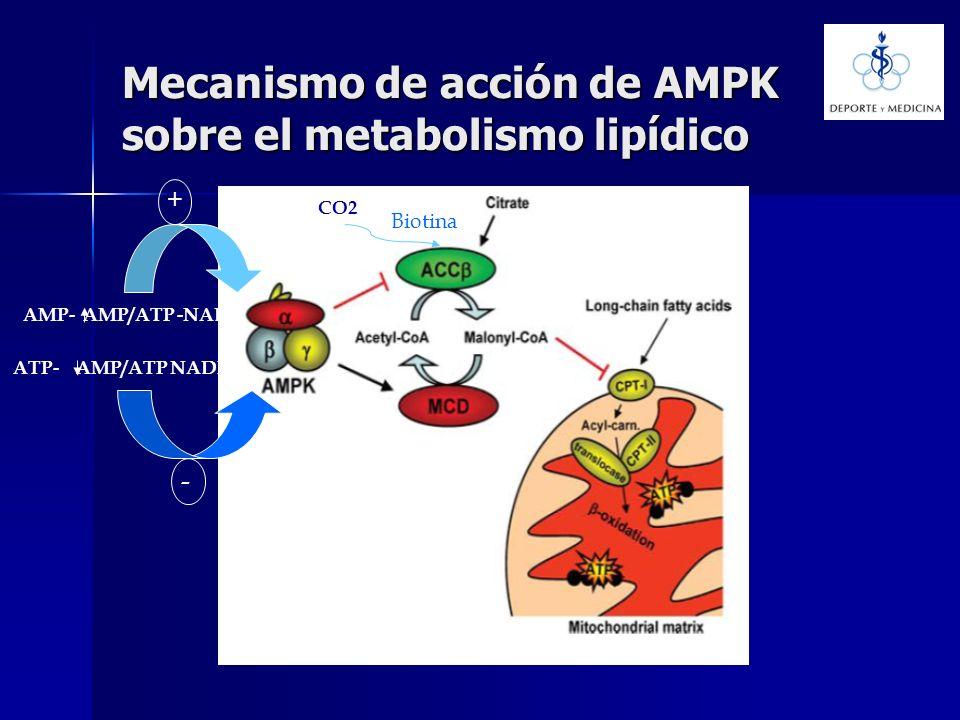 Mecanismo de acción de AMPK sobre el metabolismo lipídico