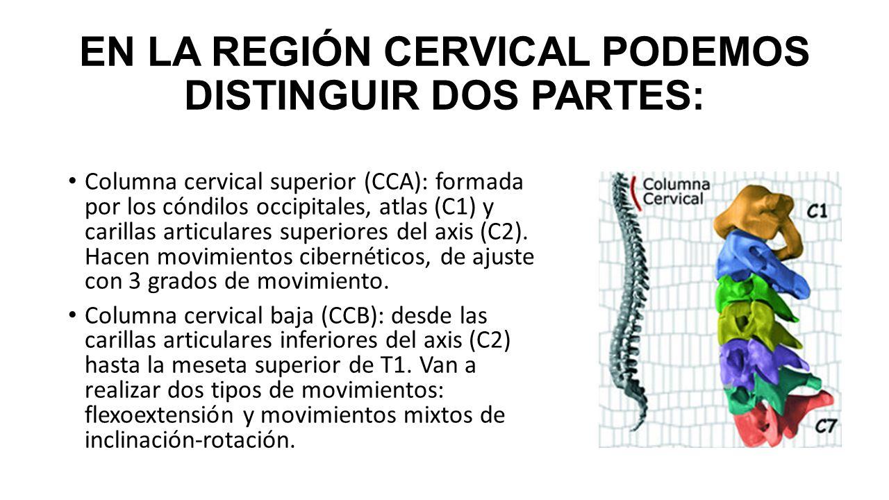 Hermosa Anatomía Cervical Superior Patrón - Anatomía de Las ...