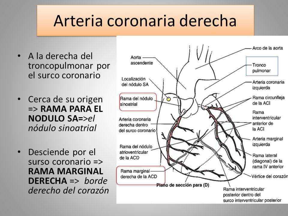 Único Anatomía Arterias Coronarias Fotos Patrón - Anatomía de Las ...