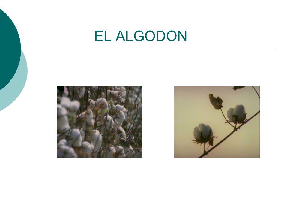 EL ALGODON
