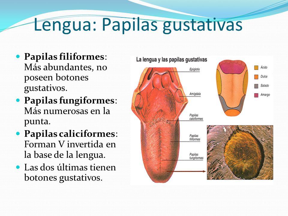 Moderno Anatomía Y Fisiología Lengua Friso - Anatomía de Las ...