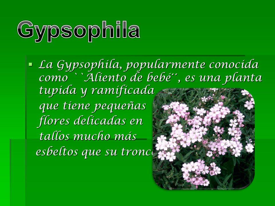 Gypsophila La Gypsophila, popularmente conocida como ``Aliento de bebé´´, es una planta tupida y ramificada.