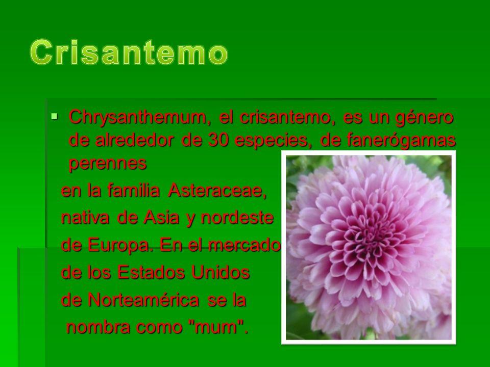 Crisantemo Chrysanthemum, el crisantemo, es un género de alrededor de 30 especies, de fanerógamas perennes.