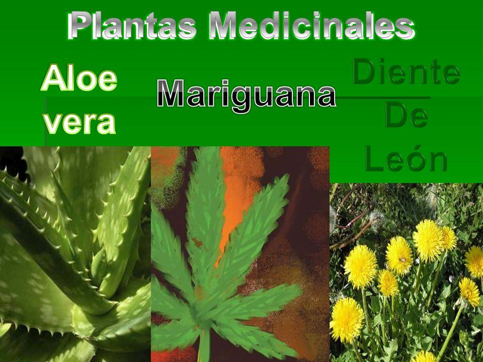 Plantas Medicinales Plantas Medicinales Diente De León Aloe vera Mariguana