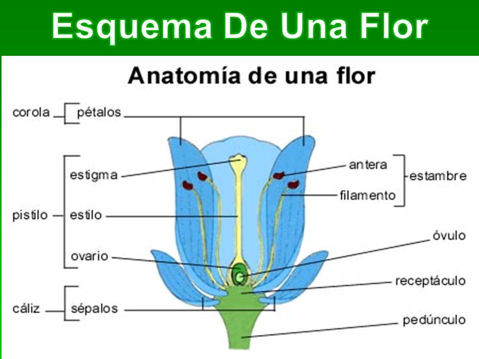 Esquema De Una Flor