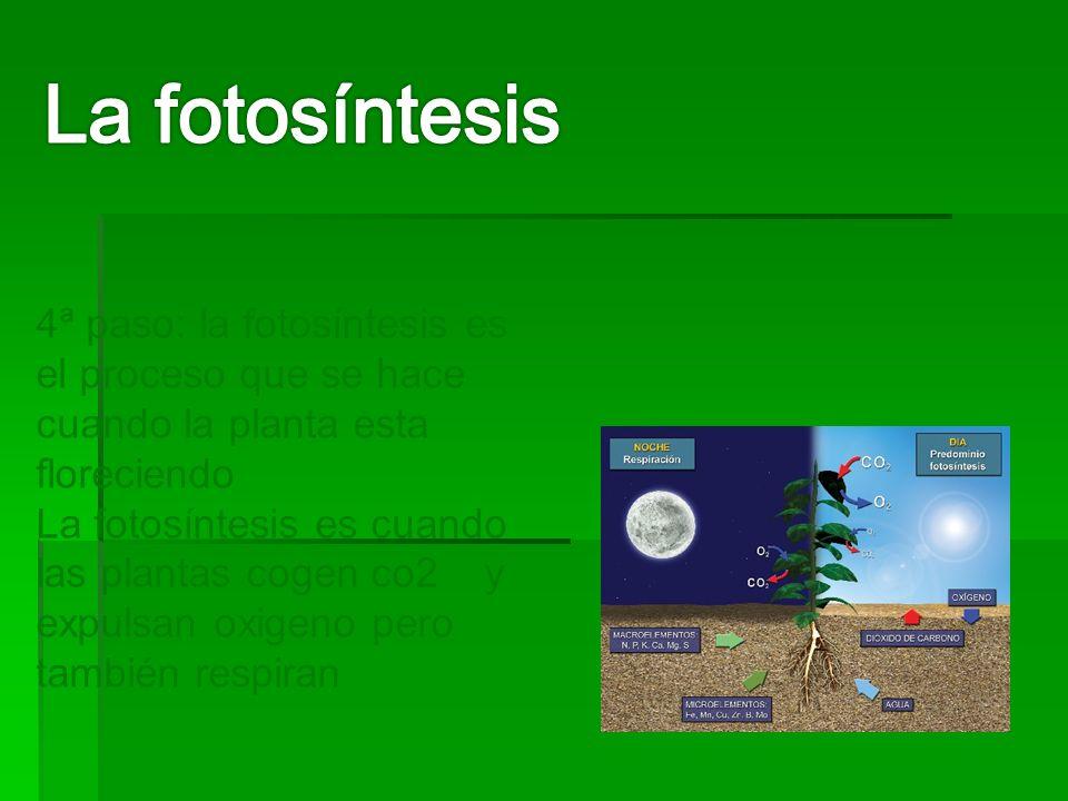 La fotosíntesis 4ª paso: la fotosíntesis es el proceso que se hace cuando la planta esta floreciendo.