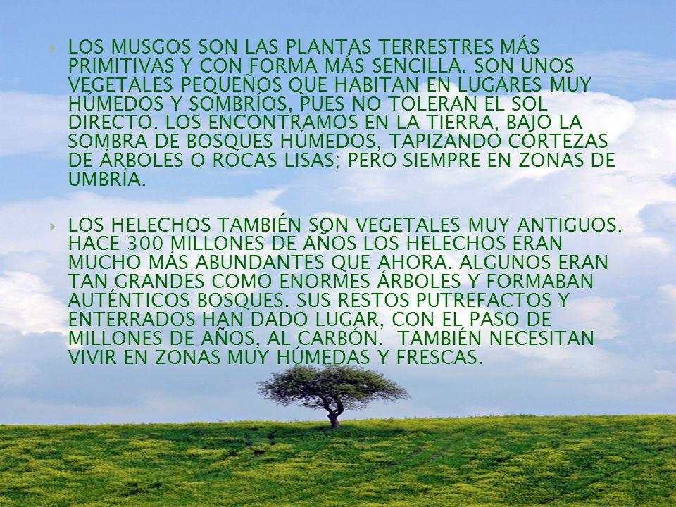 LOS MUSGOS SON LAS PLANTAS TERRESTRES MÁS PRIMITIVAS Y CON FORMA MÁS SENCILLA. SON UNOS VEGETALES PEQUEÑOS QUE HABITAN EN LUGARES MUY HÚMEDOS Y SOMBRÍOS, PUES NO TOLERAN EL SOL DIRECTO. LOS ENCONTRAMOS EN LA TIERRA, BAJO LA SOMBRA DE BOSQUES HÚMEDOS, TAPIZANDO CORTEZAS DE ÁRBOLES O ROCAS LISAS; PERO SIEMPRE EN ZONAS DE UMBRÍA.