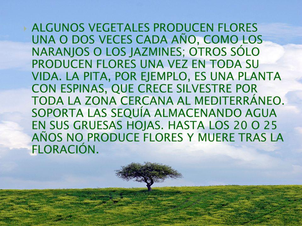 ALGUNOS VEGETALES PRODUCEN FLORES UNA O DOS VECES CADA AÑO, COMO LOS NARANJOS O LOS JAZMINES; OTROS SÓLO PRODUCEN FLORES UNA VEZ EN TODA SU VIDA.