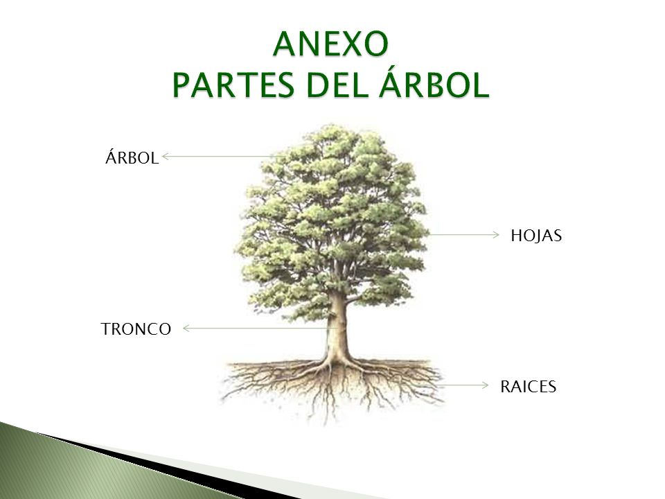 ANEXO PARTES DEL ÁRBOL ÁRBOL HOJAS TRONCO RAICES