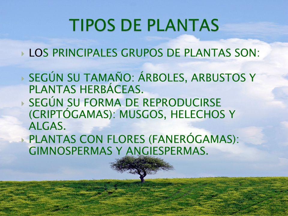 TIPOS DE PLANTAS LOS PRINCIPALES GRUPOS DE PLANTAS SON: