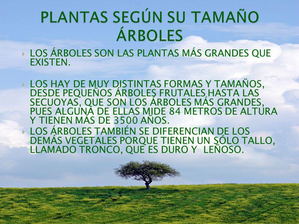 PLANTAS SEGÚN SU TAMAÑO ÁRBOLES