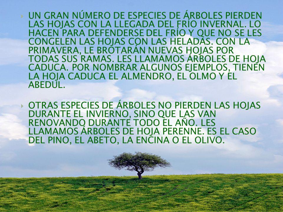 UN GRAN NÚMERO DE ESPECIES DE ÁRBOLES PIERDEN LAS HOJAS CON LA LLEGADA DEL FRÍO INVERNAL. LO HACEN PARA DEFENDERSE DEL FRÍO Y QUE NO SE LES CONGELEN LAS HOJAS CON LAS HELADAS. CON LA PRIMAVERA, LE BROTARÁN NUEVAS HOJAS POR TODAS SUS RAMAS. LES LLAMAMOS ÁRBOLES DE HOJA CADUCA. POR NOMBRAR ALGUNOS EJEMPLOS, TIENEN LA HOJA CADUCA EL ALMENDRO, EL OLMO Y EL ABEDUL.