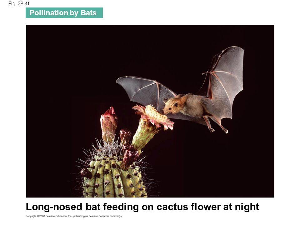 Long-nosed bat feeding on cactus flower at night