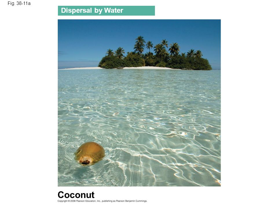 Coconut Dispersal by Water Fig. 38-11a