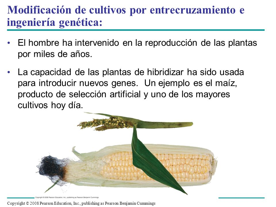 Modificación de cultivos por entrecruzamiento e ingeniería genética: