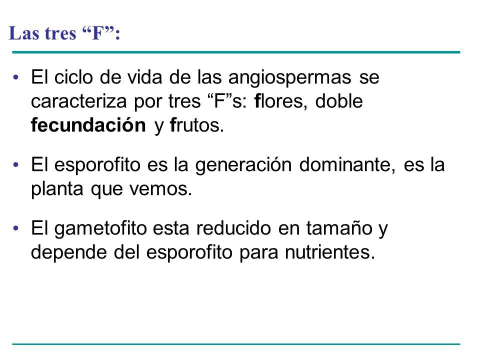 Las tres F : El ciclo de vida de las angiospermas se caracteriza por tres F s: flores, doble fecundación y frutos.