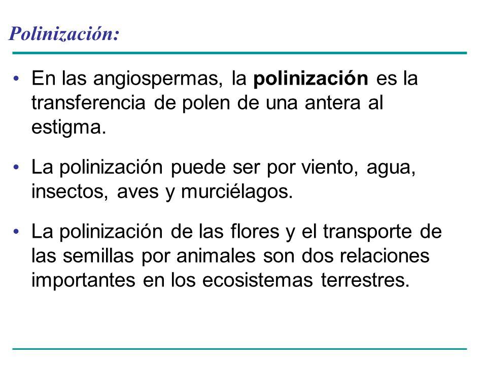 Polinización: En las angiospermas, la polinización es la transferencia de polen de una antera al estigma.