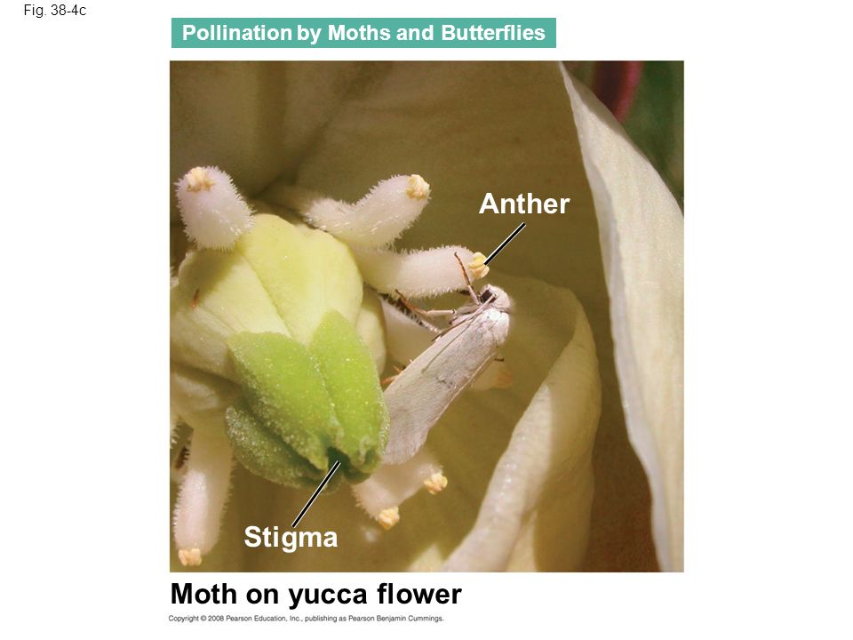 Anther Stigma Moth on yucca flower