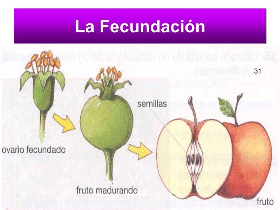 La Fecundación 31