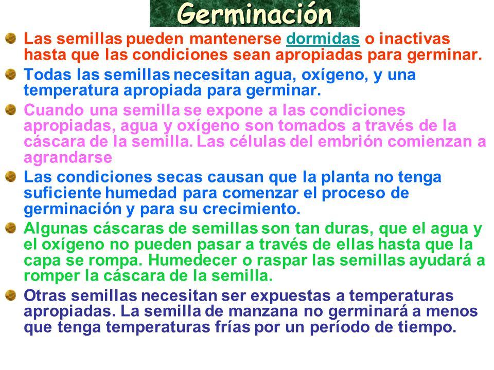 Germinación Las semillas pueden mantenerse dormidas o inactivas hasta que las condiciones sean apropiadas para germinar.