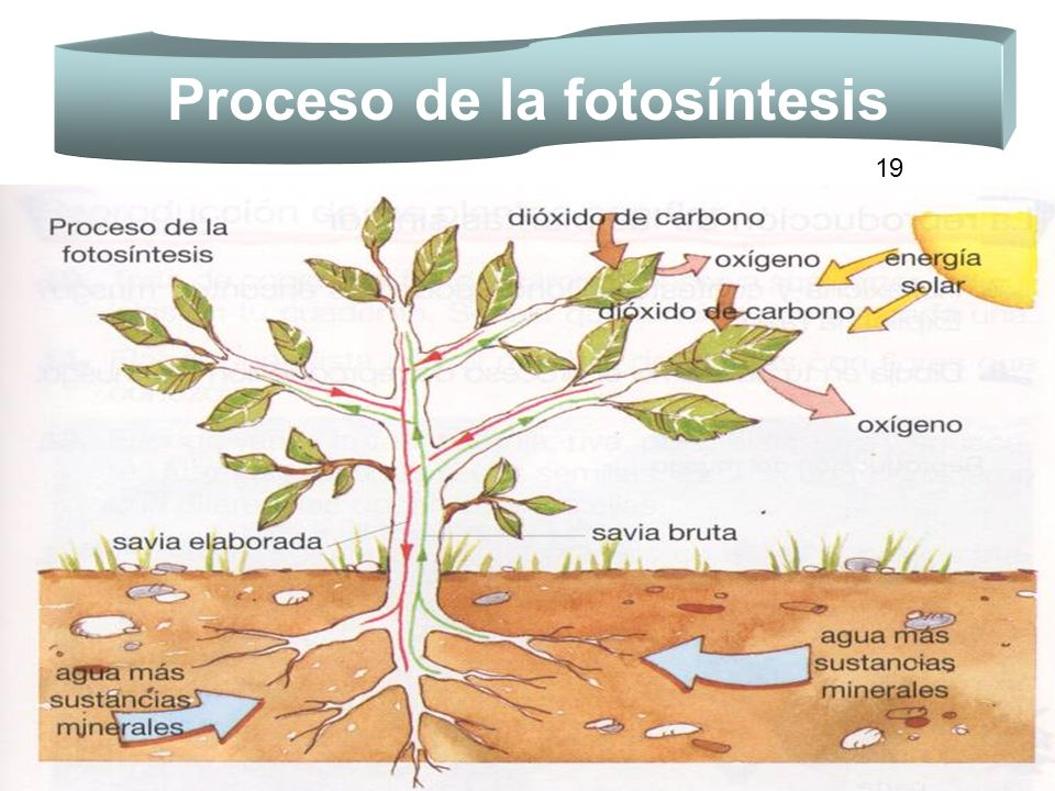 Proceso de la fotosíntesis