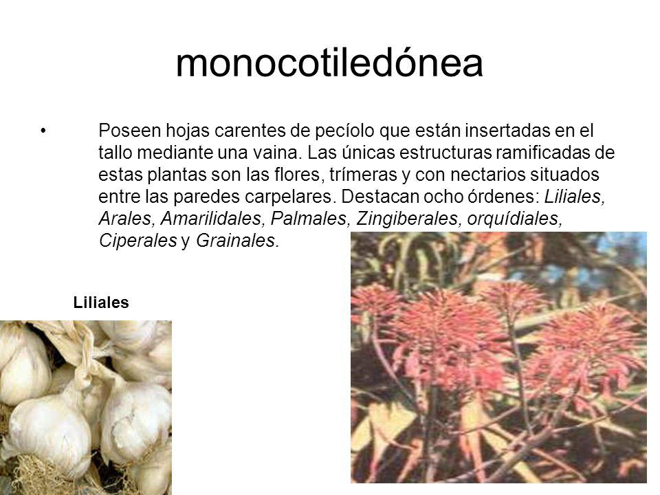 Son plantas antes denominadas Lilifloras