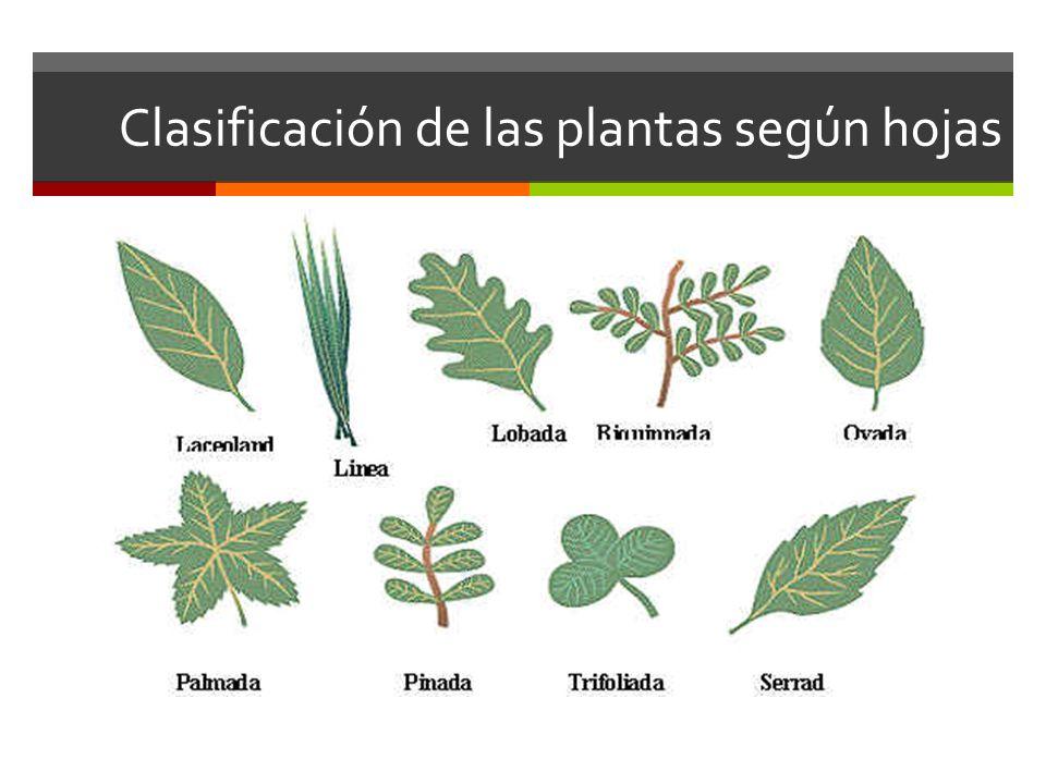 Clasificación de las plantas según hojas