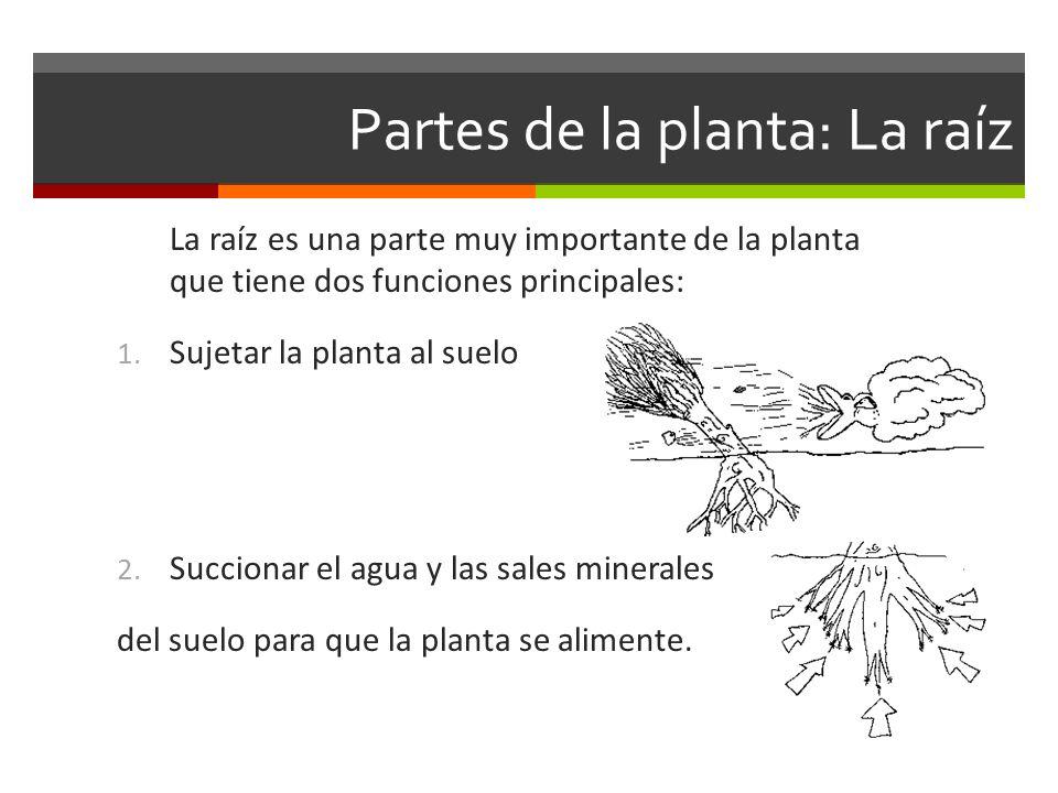 Partes de la planta: La raíz