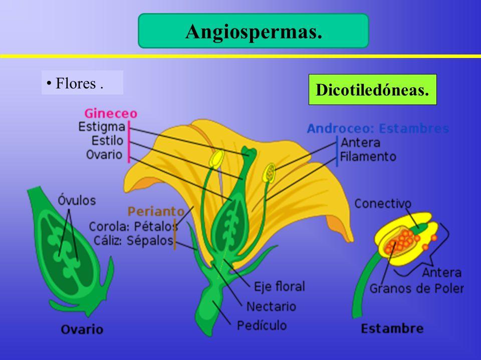 Angiospermas. Flores . Dicotiledóneas. 11