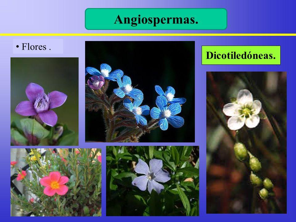 Angiospermas. Flores . Dicotiledóneas.