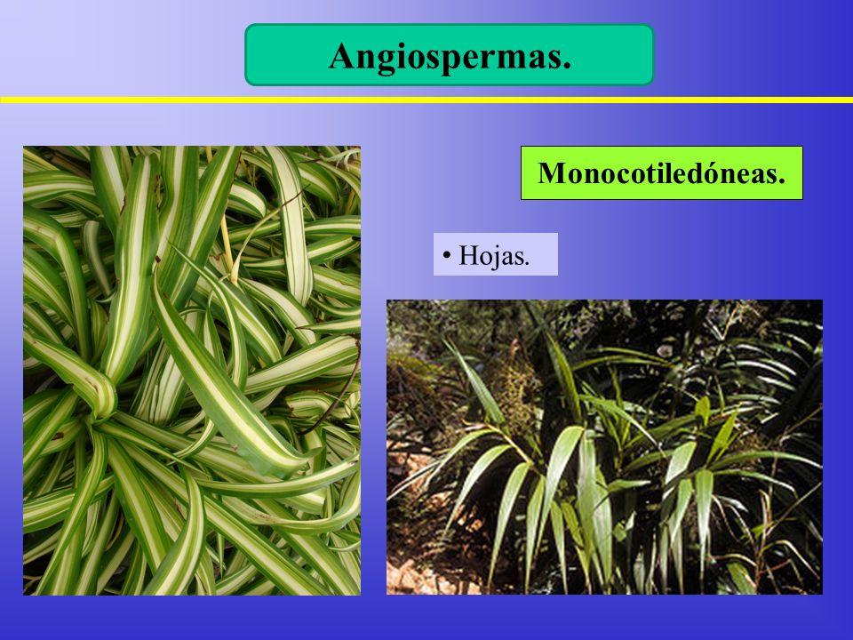 Angiospermas. Monocotiledóneas. Hojas.