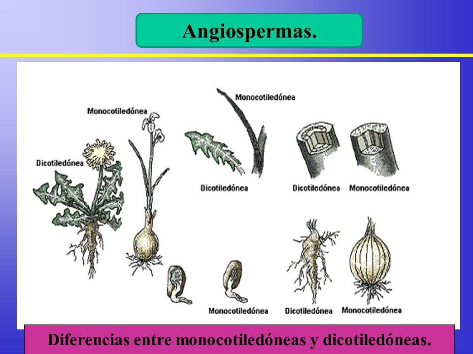 Diferencias entre monocotiledóneas y dicotiledóneas.