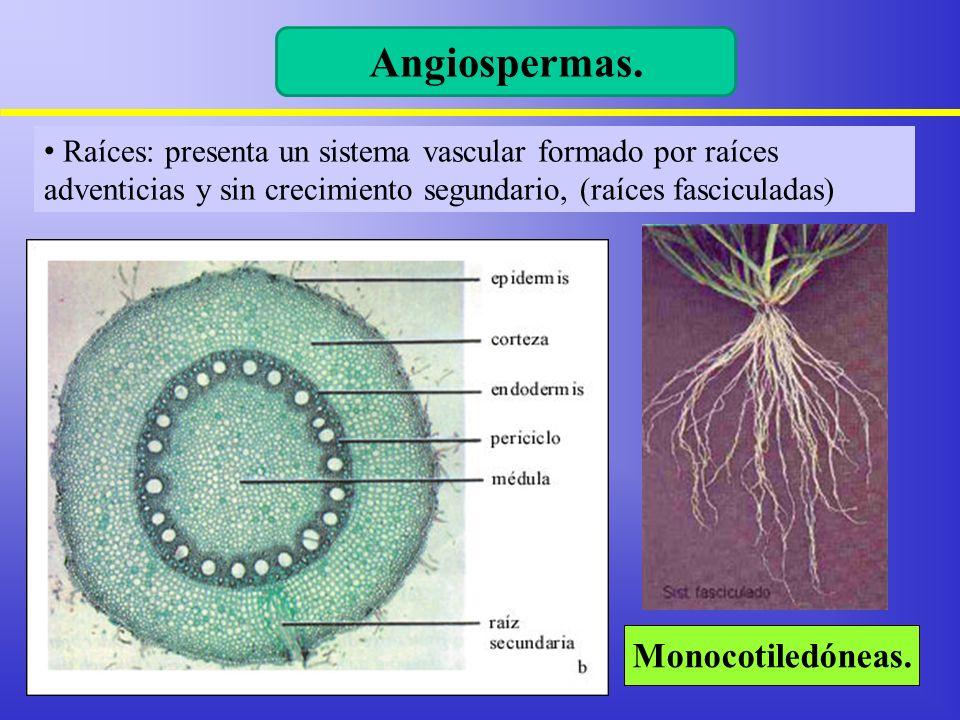 Angiospermas. Monocotiledóneas.