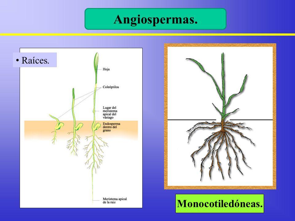 Angiospermas. Raíces. Monocotiledóneas.