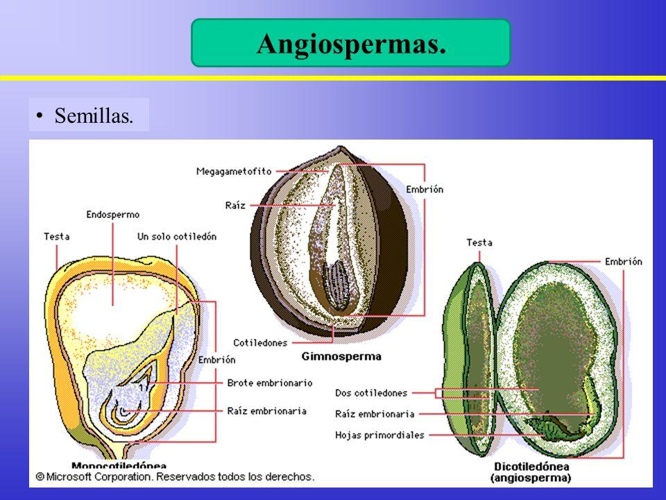 Angiospermas. Semillas. 4