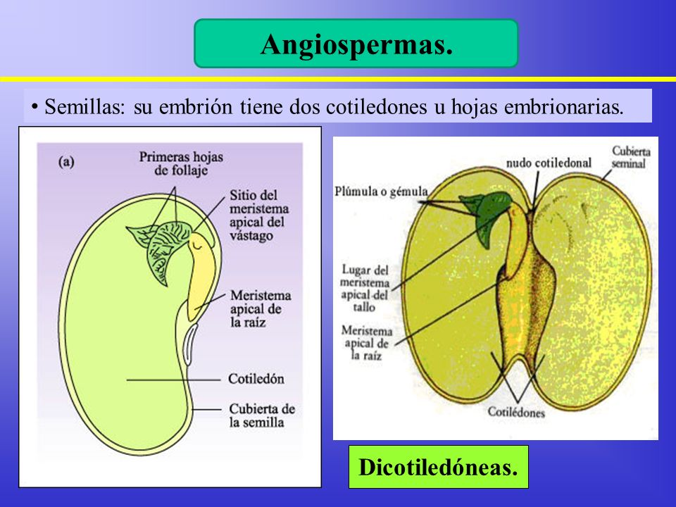 Angiospermas. Dicotiledóneas.