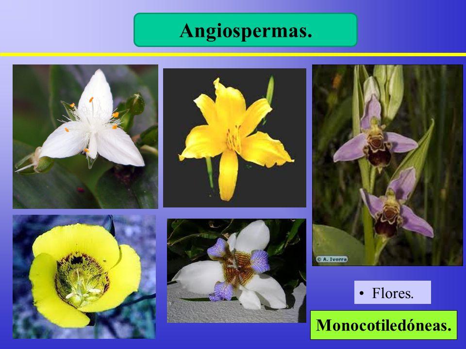 Angiospermas. Flores. Monocotiledóneas. 9