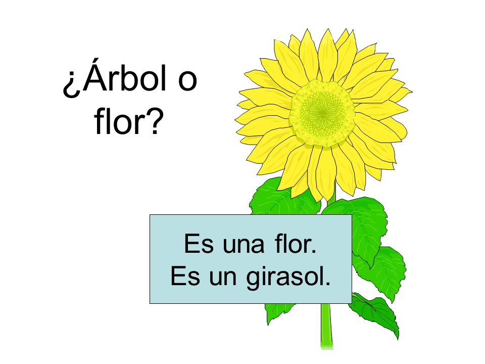 ¿Árbol o flor Es una flor. Es un girasol.