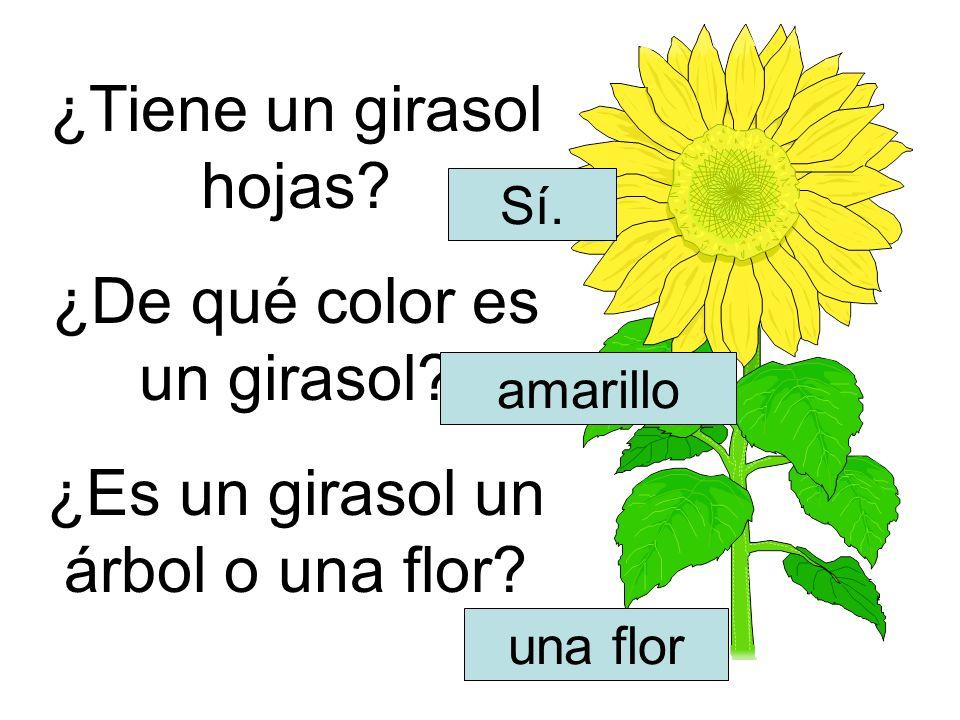 ¿Tiene un girasol hojas ¿De qué color es un girasol