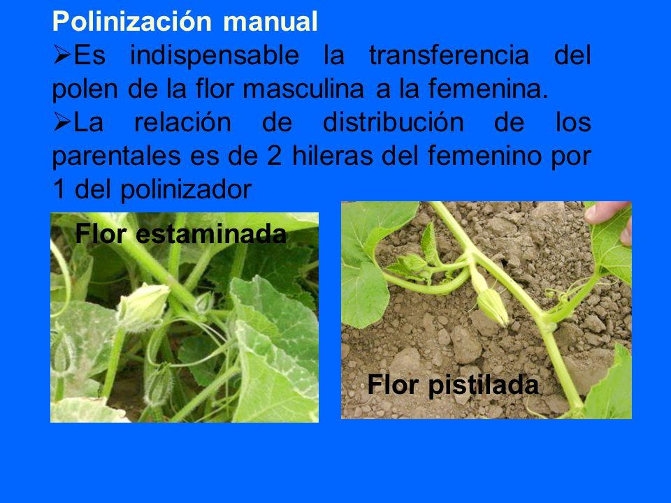 Polinización manual Es indispensable la transferencia del polen de la flor masculina a la femenina.