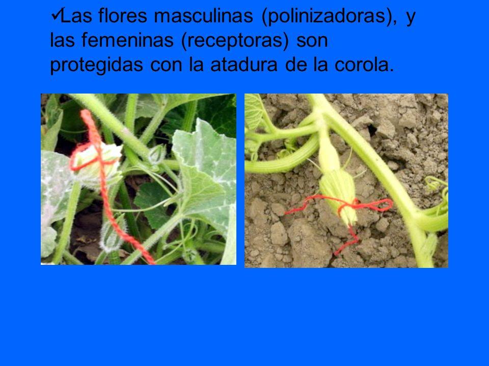 Las flores masculinas (polinizadoras), y las femeninas (receptoras) son protegidas con la atadura de la corola.
