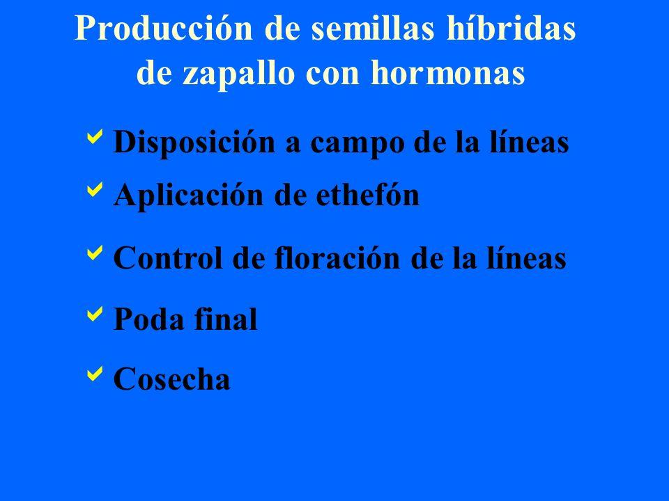 Producción de semillas híbridas de zapallo con hormonas