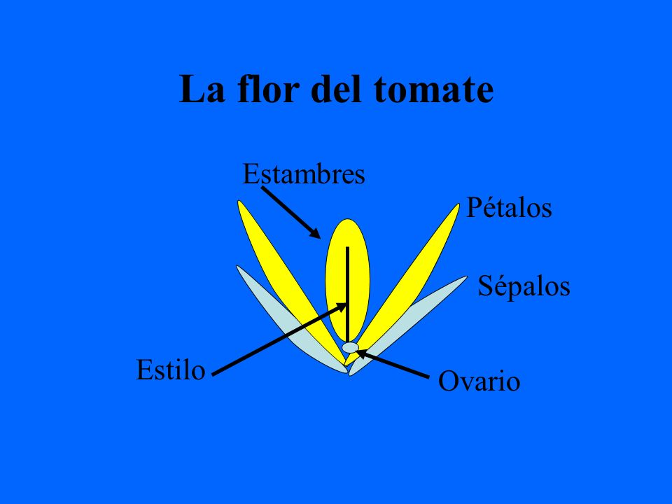 La flor del tomate Estambres Pétalos Sépalos Estilo Ovario