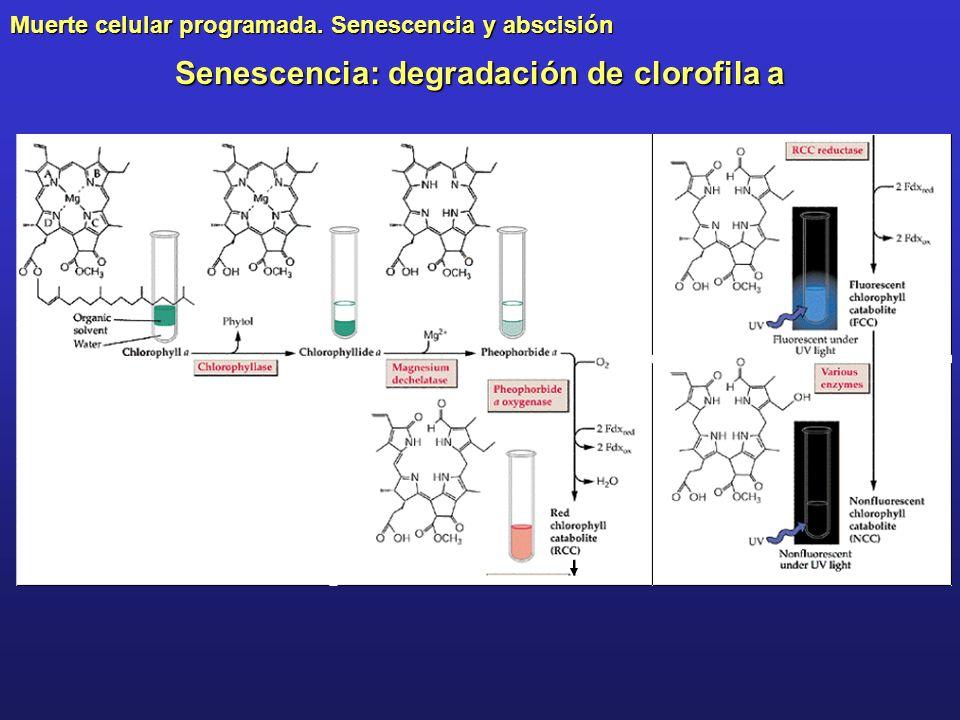 Senescencia: degradación de clorofila a