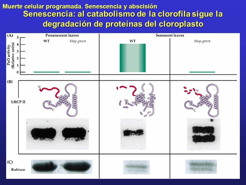 Senescencia: al catabolismo de la clorofila sigue la degradación de proteínas del cloroplasto