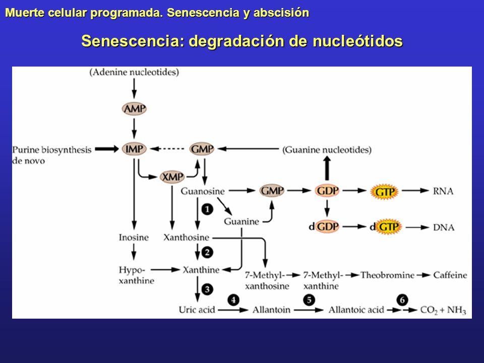 Senescencia: degradación de nucleótidos