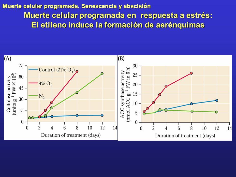 Muerte celular programada en respuesta a estrés: El etileno induce la formación de aerénquimas