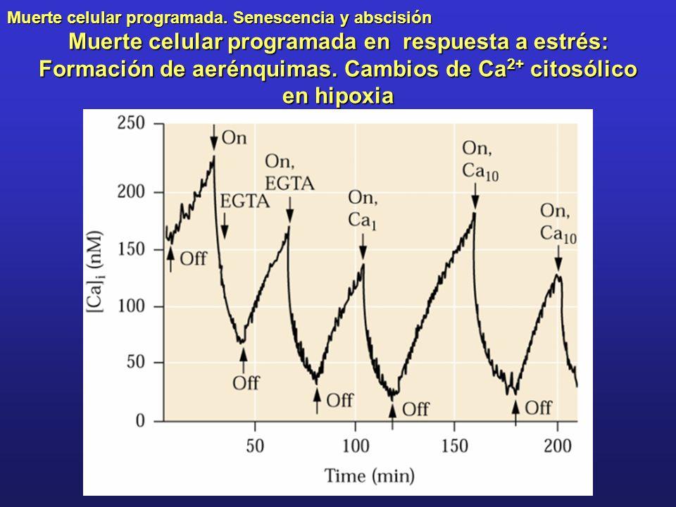 Muerte celular programada en respuesta a estrés: Formación de aerénquimas.